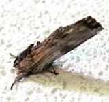 8017, Oligocentria lignicolor, White-streaked Prominent