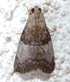 5606, Pococera asperatella, Maple Webworm