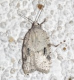 3540, Acleris logiana, Black-headed Birch Leafroller