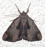 8857, Catocala Ultronia Ultronia Underwing
