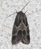 11135, Schinia rivulosa, Ragweed Flower Moth