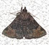 8444, Hypena palparia, Mottled Snout