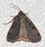 10950, Pink-spotted Dart