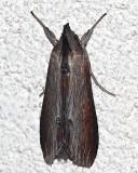 10200, Cucullia asteroides, Asteroid moth
