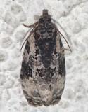 2763, Apotomis albeolana