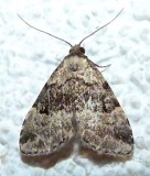 8426, Dyspyralis illocata, Visitation Moth