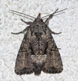 9398, Eremobina leucoscelis
