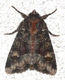 9348, Apamea amputatrix, Yellow-headed Cutworm