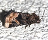 9057, Homophobaria apicosa, Black Wedge-spot