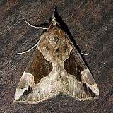 8441, Hypena manalis,  Flowing-line Snout