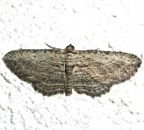 7445,  Horisme intestimata, Brown Bark Carpet