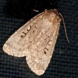 10928,  Graphiphora augur,  Double Dart