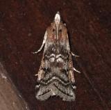 5841, Diorycitria abletvorella, Evergreen cone Worm Moth