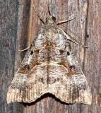8452, Hypena edictalis, Large Snout