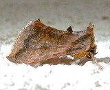 8898, Allagrapha aerea, Unspotted Looper