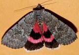 8833, Catocala concumbens, Pink Underwing