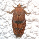 3494, Clydia latiferreana, Filbert Worm Moth