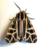 8196, Grammia parthenice, Parthenice Tiger Moth