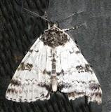 8803, Catocala relicta,White Underwing