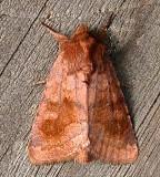 10524. Nephilodes minians, Bronzed Cutworm