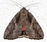 8834, Catocala amatrix, Sweetheart Underwing