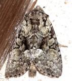 9398, Eremobina leucoscellis