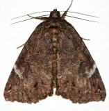 8719, Euparthenos nubilis, Locust Underwing
