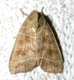 9555, Ipimorpha pleonectosa, Even-lined Sallow