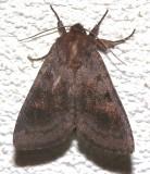 10524,    Melanistic Bronzed Cutworm