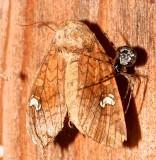 9457, Amphapoea americana, American Ear Moth