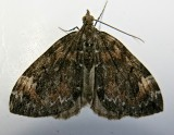 7182, Dysstroma citrata, Dark Marbled Carpet