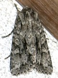 9989, Sutyna privata, Private Sallow