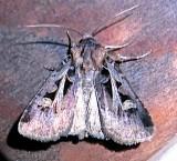 10675, Feltia Tricosa, Confused Dart
