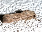 9666, Spodoptera frugiperda, Fall Armyworm Moth, female