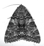 8805, Catocala unijuga, Once Married Underwing