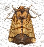 9503, Papaipema rigida, Rigid Sunflower Borer