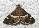 5170, Spoladea recurvalis, Hawaiian Beet Webworm