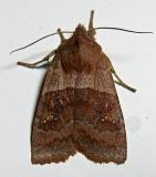 9933, Eupsilia vinulenta, Straight-toothed Sallow