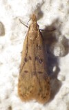 2288, Dichomeris punctipennella,  Many-spotted Dichomeris