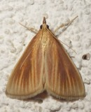 4937, Nascia acutella , Streaked Orange Moth