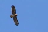 Subadult Greater Spotted Eagle Fulvescens type ?