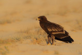 Bird Photography Trip to Oman 2013