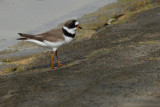 Gallery Semipalmated Plover