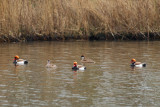 Gallery Red-Crested Pochard