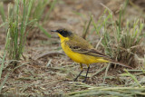 Dark-headed wagtail or Grey-headed wagtail  (Motacilla flava ssp thunbergi)