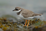 Gallery Ringed Plover
