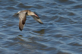 Gallery Bar-tailed Godwit