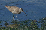 Gallery Whimbrel