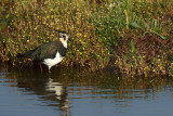 Gallery Northern Lapwing