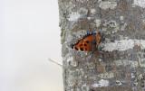 Vlinders in Nederland en Europa